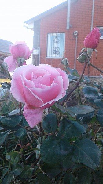 "А у нас не на окне , а за окном розы ""цвет"" набирают"