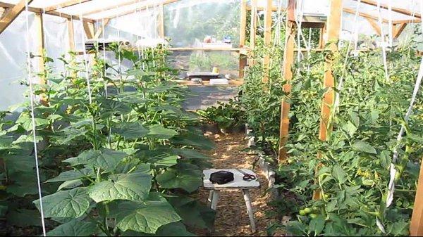 Посадка помидор в теплицу из поликарбоната: подготовка…